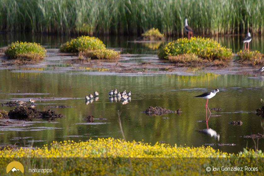 Aves en la marisma (© Javi Gozález Roces)