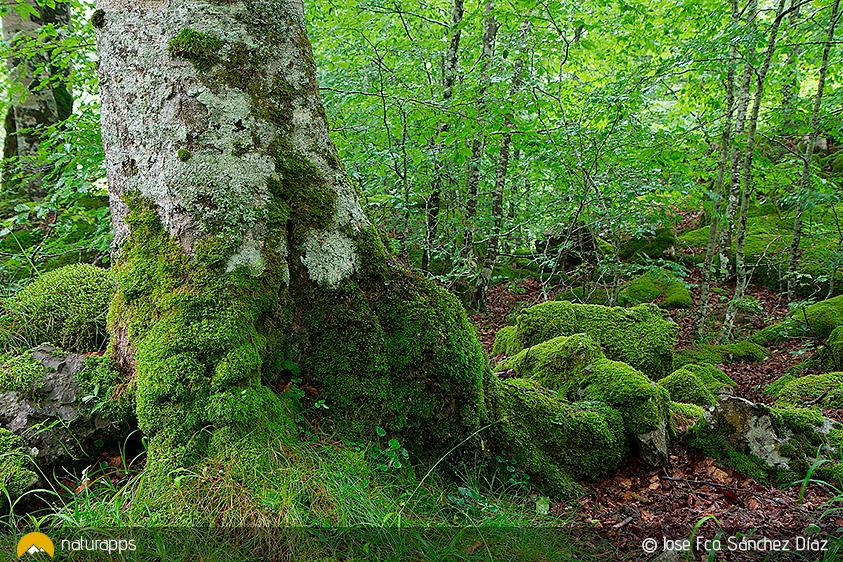 El bosque de Ursario en Irati