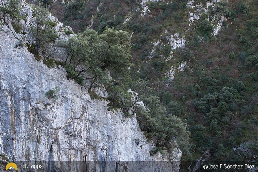 Encinas en las paredes rocosas de Las Xanas