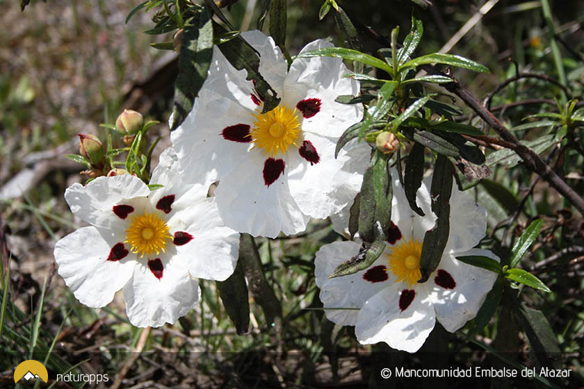 Jara en flor - Cistus ladanifer (©Mancomunidad Embalse del Atazar)