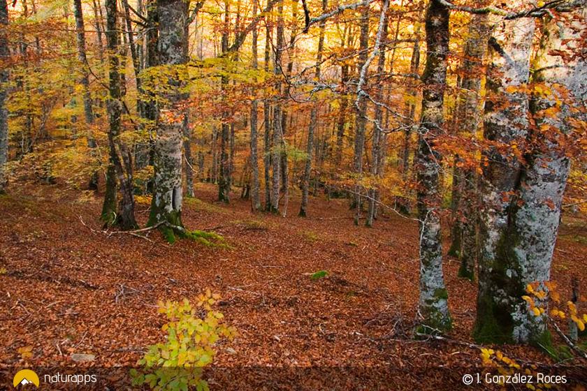 El espectáculo del hayedo de Peloño en otoño