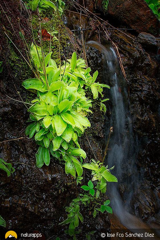 Planta carnívora (Pinguicola grandiflora)